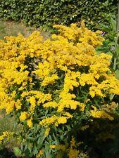 6 SOLIDAGO GOLDEN ROD 'GOLDEN BABY' MEDIUM  PLUG PLANTS - HP
