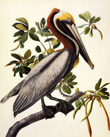 POSTER BIRDS OF AMERICA AUDUBON BROWN PELICAN VINTAGE REPRO FREE S/H