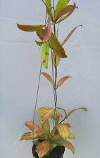 Hoya erythrina bacho [B29J1],1 pot rooted plant20-22 inchesUnique!