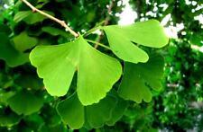 Ginkgo biloba (Maidenhair Tree)  - 10 seeds - Easy to Grow