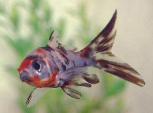 Calico Shubunkin Goldfish SMALL live freshwater aquarium fish lot of 3