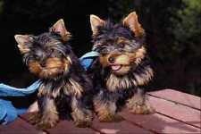 659075 Yorkshire Terrier Pups A4 Photo Print
