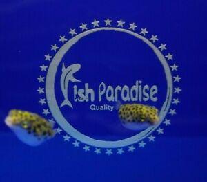 2 X Leopard Green Puffer Live Tropical Brackish Fish Healthy Guaranteed.