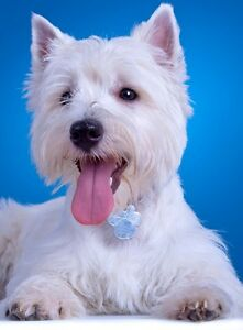 """West Highland Terrier Picture Print Westie Canvas / Fine Art Poster A3 or 10x8"""""""