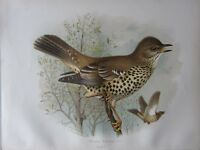1907 Antico Uccello Stampa ~ Missel Candida