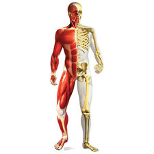 Anatomical Muscular & Skeletal Lifesize Cardboard Cutout Standup Standee Anatomy