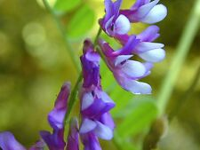 100 Russian Hairy Vetch Groundcover Vine Flower Seeds