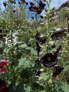 Rose Trémière bordeaux x 30 graines