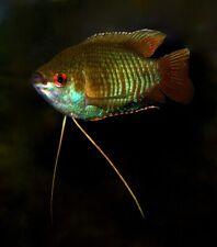 10 (ten) x Trichogaster fasciata (Banded Gourami) Rare!