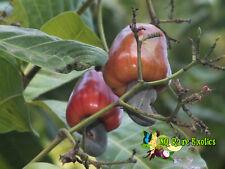 Cashew Apple - Cashew Nut - Anacardium occidentale Exotic Fruit Nut Tree Plant