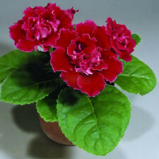Gloxinia Red Seeds Perennial Flowering Plants Sinningia Speciosa Bonsai Flower