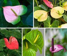 50 Anthurium Flower Seeds Mixed Houseplant Palm Decor Grass Home Garden Bonsai