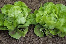Vegetable Seed Spring Lettuce May King Garden EU Standard Pictorial Packet UK