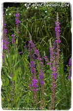 Lythrum salicaria 'Purple Loosestrife' [Ex. Cambridgeshire] 1500+ SEEDS