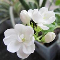 20 Samen Arabischer Jasmin Jusminum Weiße Farbe Strauch Blumensamen--MultiP J7V0