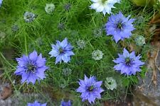 FLOWER NIGELLA LOVE IN A MIST MISS JEKYLL 0.8 GRAM ~ 340 SEEDS (ORGANIC)
