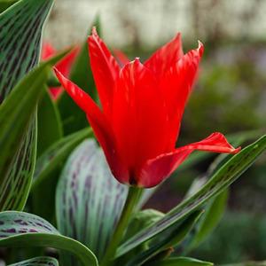 Tulip Red Riding Hood / Greigii - 15 Bulbs Per Pack 30 cm