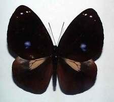 EUPLOEA LEUCOSTICTOS HISHME - unmounted butterfly