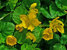 Lysimachia nummularia (Creeping jenny) bare root/rooted cutting pond/bog plant.