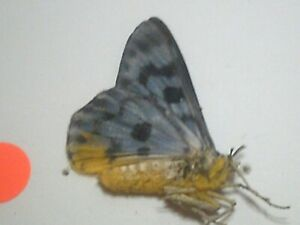 Real Dried Insect/Butterfly/Moth Non set B7783 Rare Dysphania transducta?