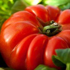 30 graines tomate ancienne beefsteak jardin bio Bretagne graines paysannes