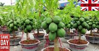 Dwarf Papaya 10 fresh seeds. UK Supplier. Same Day Dispatch