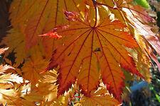 Acer japonicum Meigetsu JAPANESE FULLMOON MAPLE Seeds!