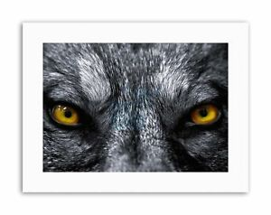 GREY WOLF EVIL EYES CLOSE UP PHOTO Poster Picture Canvas art Prints