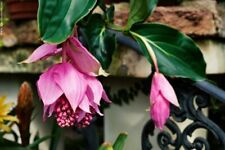 30 Medinilla Magnifica Flower Seeds Beautiful Pink Potted Plant for Home Garden