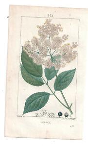 1814-18 Hand Coloured print Elderberry, Chaumeton-Turpin, Flore Medicale