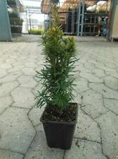 Taxus baccata David 1 Stück gelbe Säuleneibe 15/20 T9x9 2j.v.StT9