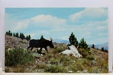 Yellowstone National Park Bull Moose Postcard Old Vintage Card View Standard PC