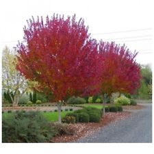 Burgundy Belle Maple Tree - Heavy Established Roots - 2 Gallon Potted - 1 Plant