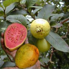 50 Graines de Goyave  'Psidium Guajava' Pink Guava tree seeds