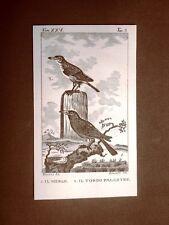 Merlo e Tordo palustre Incisione su rame del 1813 Buffon Uccello Ornitologia