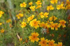 Yauhtli Tagetes lucida Mexikanisches Traumkraut Zauberpflanze der Azteken Gewürz