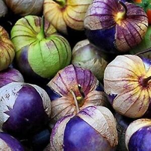 ***Neu Purple Tomatillo*** Physalis ixocarpa würzig für Salsa Mexicana 10 Samen