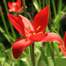 TULIPA SPRENGERI NEW SEEDS ADDED TO YOUR COLLECTION 25 SEEDS PER PACK