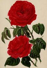 Décoration Jeanne Koch Fleur Rose Eclair Journal des roses Lithographie 1889