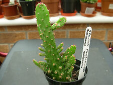 Opuntia vulgaris variegata-marbled with yellow red and green.approx15 cms tall