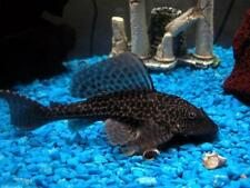 2 Hypostomus plecostomus PLECO moss java shrimp guppy