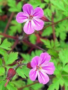 30 Herb ROBERT GERANIUM Robertianum Cranesbill Pink Shade Flower Seeds *FlatShip
