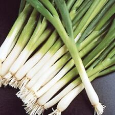 Heirloom EVERGREEN WHITE BUNCHING ONION❋1000 Seeds❋Early❋Will Winter Over