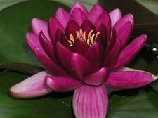 Nymphaea Rosso, Red, Seerose, 20 semi, 20 seeds