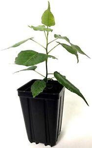 Ficus religiosa Sacred Fig Bodhi Tree Pippala Peepul Peepal starter live plant