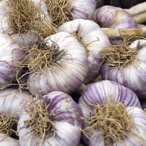 50 clove Fresh Garlic/seeds 'Early Purple Wight'  from 5 bulbs(For New Season)