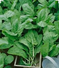 200 Large Leaf Sorrel Herb Seeds - Non GMO-Organic - Open Pollinated.