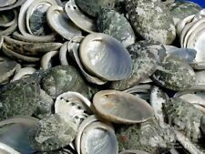 sea shell crafts or? Lot of 25 Baby Abalone halves Natural colors 3/4 - 1+ inch