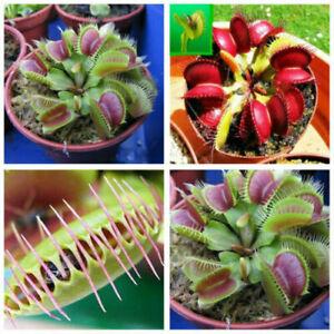 Fleischfressende Pflanze Venusfliegenfalle Samen Mix Nr.3