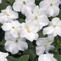Impatiens Walleriana -Baby White - 50 Seeds
